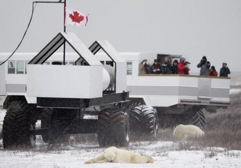 CANADA POLAR BEARS