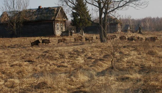 Wild boar in former village Valeriy Yurko