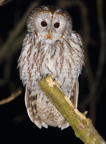 Grey Owl Valeriy Yurko