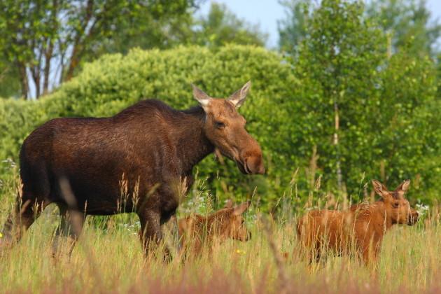 Family of elk Valeriy Yurko