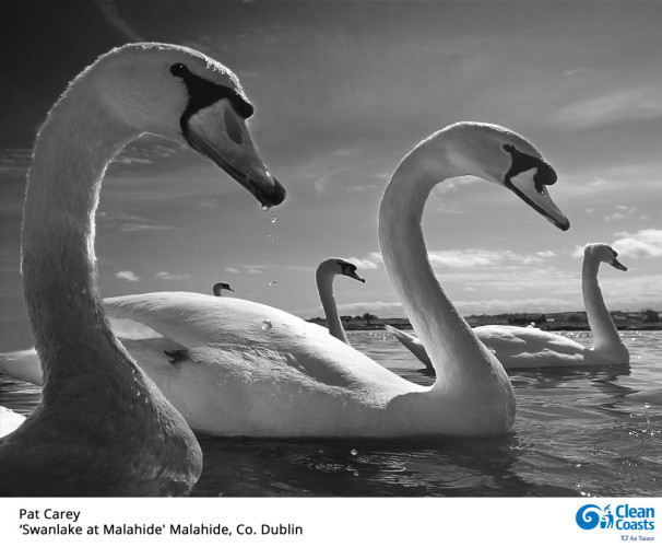 Pat-Carey-Swan-Lake