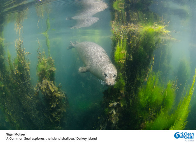 Nigel-Motyer-A-Common-Seal-explores-the-Island-shallows