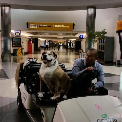 Hank back in LA....riding in style #LAX #rescuedog #dogsarethebest #inlovewithdogs #aceofheartsdogrescue