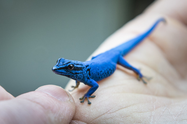 Electric blue gecko photocall