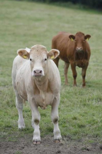 Cow Ireland