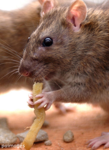 Vermin in rented homes
