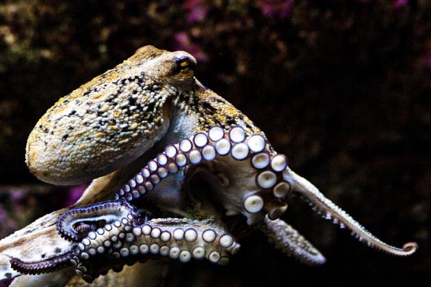 Polbo / Octopus