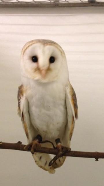 barn owls Lurgan 745 211115 - 1
