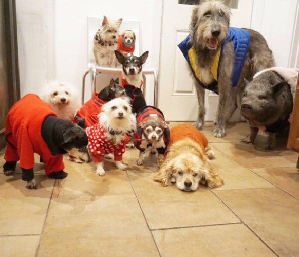 This guy with nine elderly rescue dogs and a pig is the best