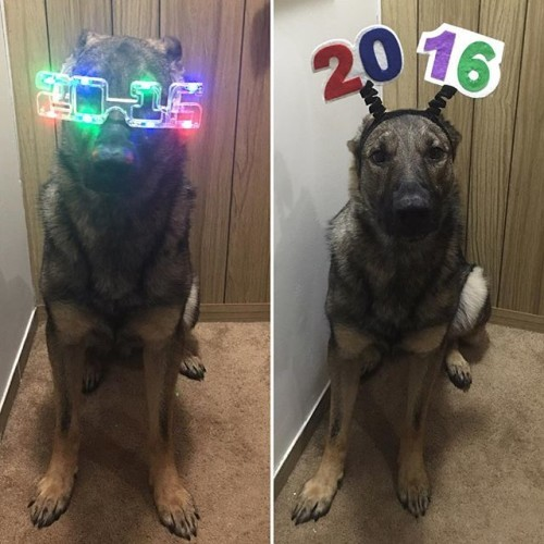 Happy New Years from the Maximus household to yours! Let the party begin!!! #NYE #party #partyanimal #gsd #gsdlove #gsdofinstagram #germanshepherd #germansheperddaily #germanshepherdsofinstagram #dog #dogoftheday #dogsofinstagram #police #policek9 #policedog #k9 #k9unit #k9trooper #rescue #rescuedog #adopted #adopteddog #adoptdontshop #max #maximus #vt #awesome #funny #2016 #bye2015