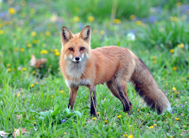4c729c08449 Hundreds sign petition protesting against fox-hunting internship on  JobBridge
