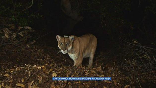 Mountain lion may have killed and eaten  Killarney the Koala  at LA Zoo cc54b595f
