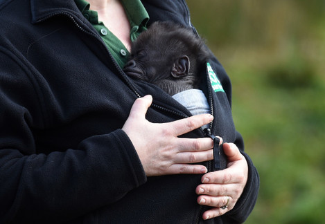 Baby gorilla born at Bristol Zoo