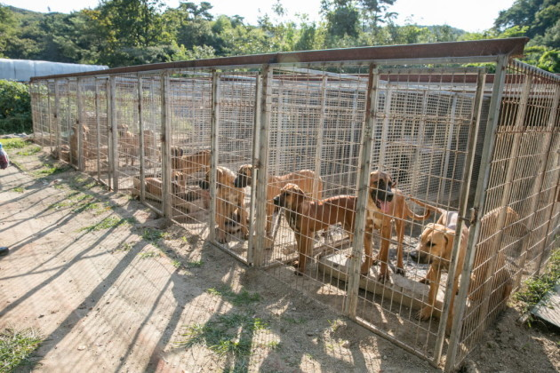 Humane Society International Rescues Dogs From South Korea Dog Meat Farm