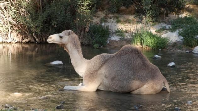 Camel wash in Wadi Hidan