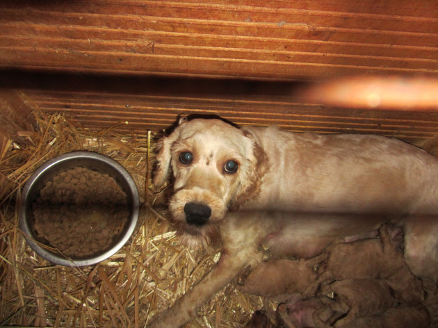 Britain's Puppy Dealers Exposed on BBC 16th May 2016 at 7:30pm