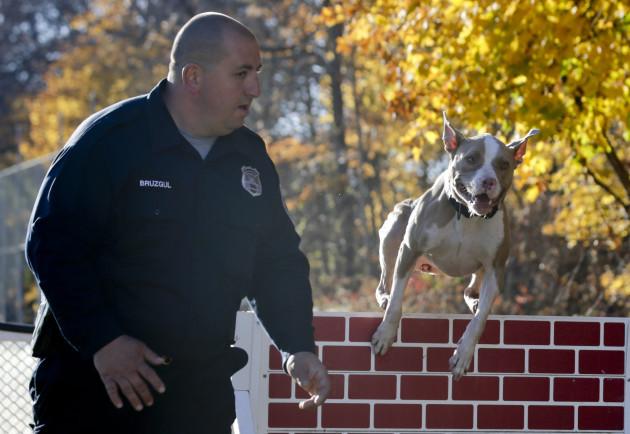 Pit Bull Police Dog