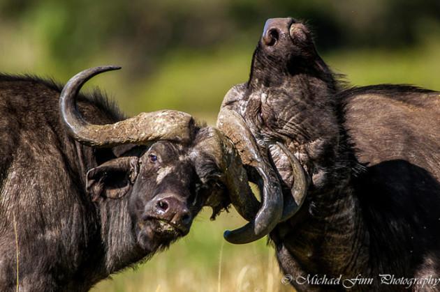 buffalo-maasai-mara-kenya