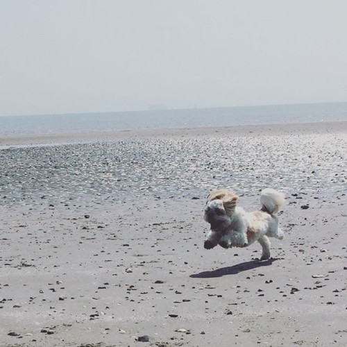 Look at me !!!! #seaside #beach #seafront #sand #tide #water #bayarea #ireland #dublin #dollymount #summer #sunday #weekend #happy #running #shihtzu #shihtzu #ilovemydog #dog #reflection #shihtzulovers #dollymountbeach #dogs #beauty #fun #jump #island #battleofthebay #bluesky #puppylove #shihtzulovers #dogsofinstagram
