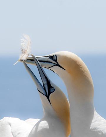 Gannets Playtime Topflight