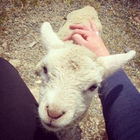 Sunning herself #Pet #Pest #Sheep #wexfordfarm #irishfarm #farm #farminglife