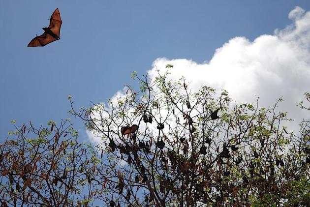Giant Madagascan fruit bat