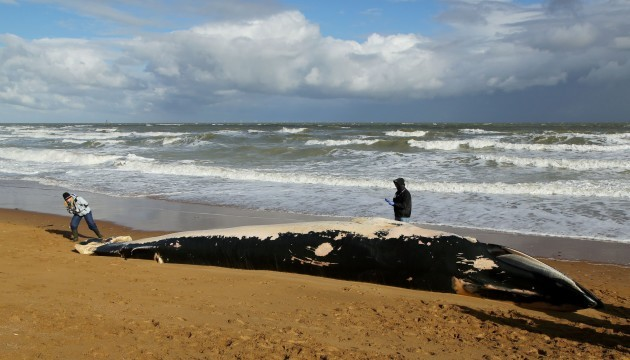 Whale washed up in Kent