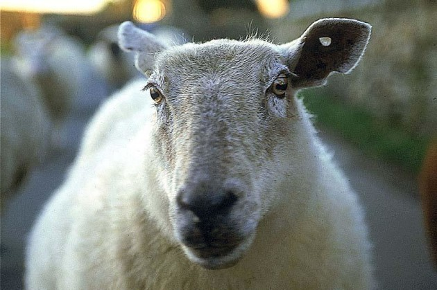 mouton_ouessant_large_rwd