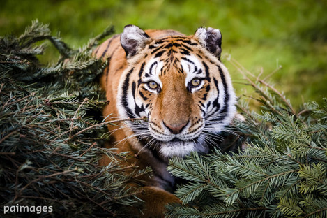 Large carnivores research