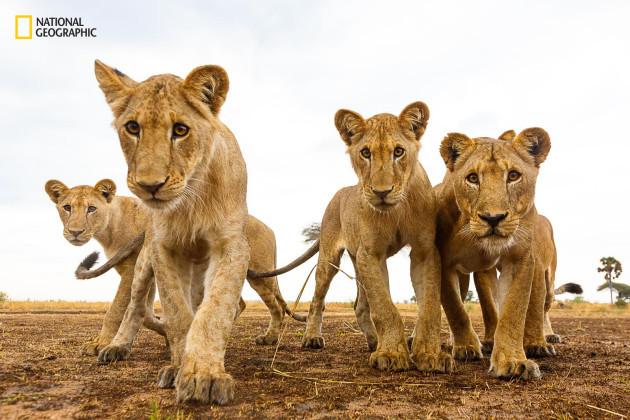 Curious Lions