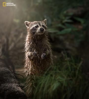 Swamp Raccoon