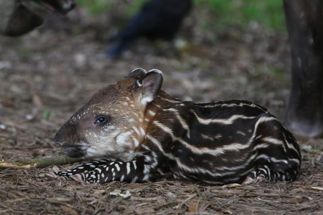 baby-tapir-fota-wildlife-park