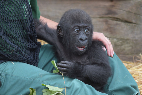 Baby gorilla plays with keeper at Bristol Zoo