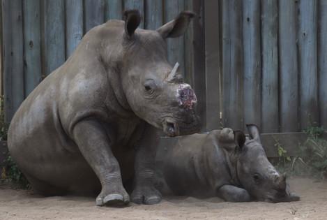 South Africa De-horning Rhinos
