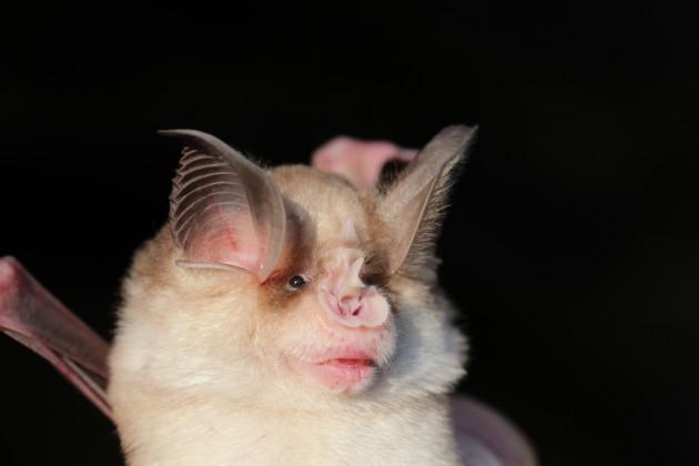 Horseshoe bat Rhinolophus meheyli by Dr Sebastien Puechmaille of the University of Greiswald Germany