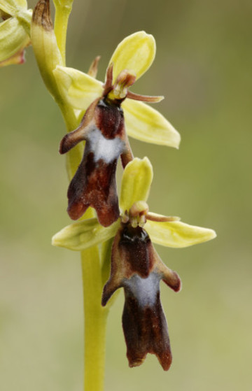 Fly Orchid1192