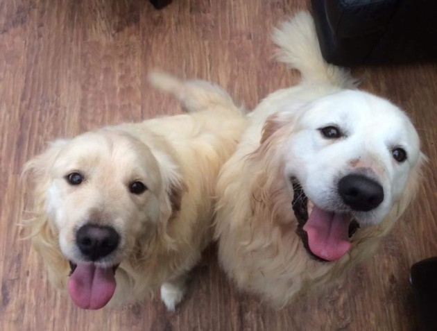 An Irish charity is looking to rehome these Retrievers in pairs