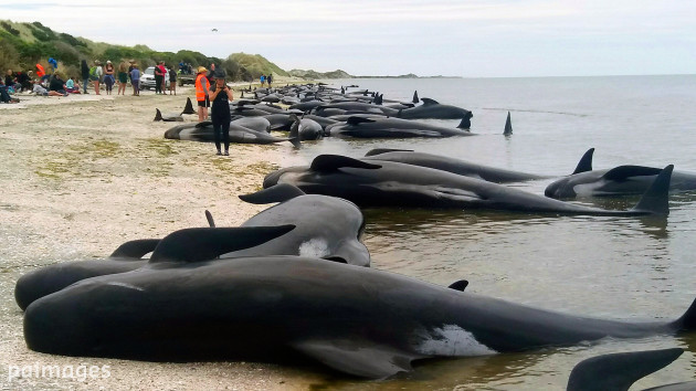 Stranded Whales - New Zealand