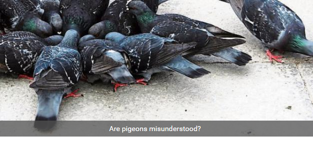 are pigeons