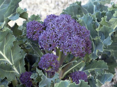 Home gardening - Purple sprounting healthy vegetable, like brocc