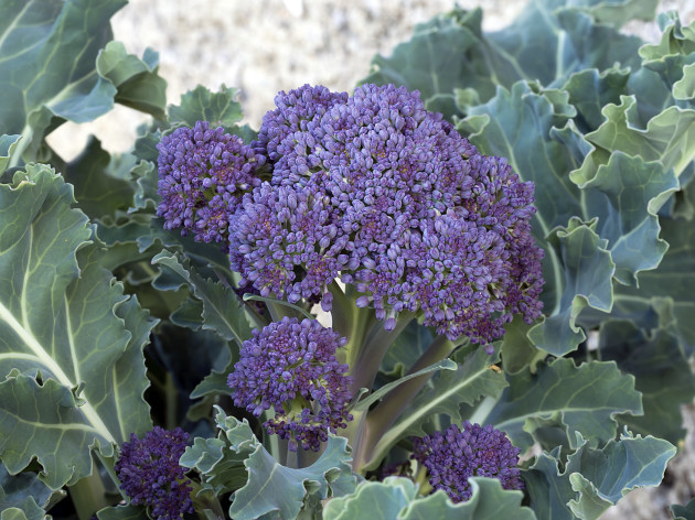 Home gardening - Purple sprounting healthy vegetable, like brocc