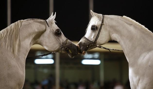 Saudi Horse Festival