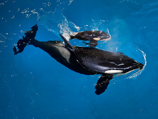 SeaWorld Last Orca Birth