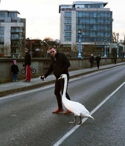 swan traffic