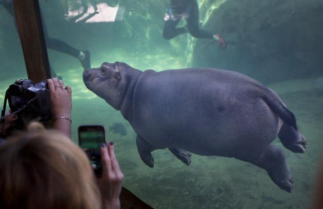 Zoo Baby Hippo