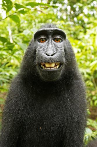 Monkey Selfie Copyright Case