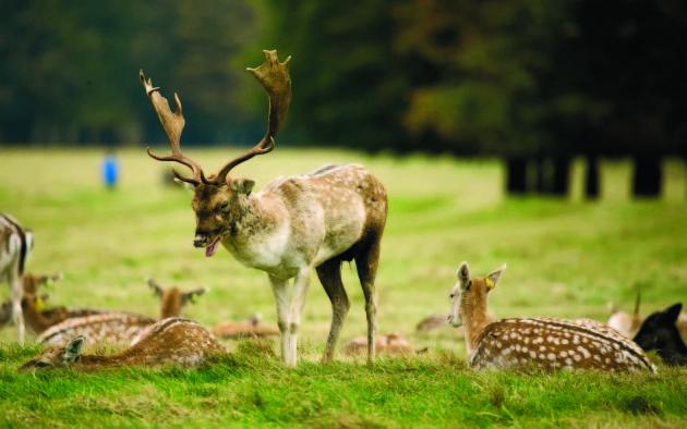 29/10/2016. Deers Rutting