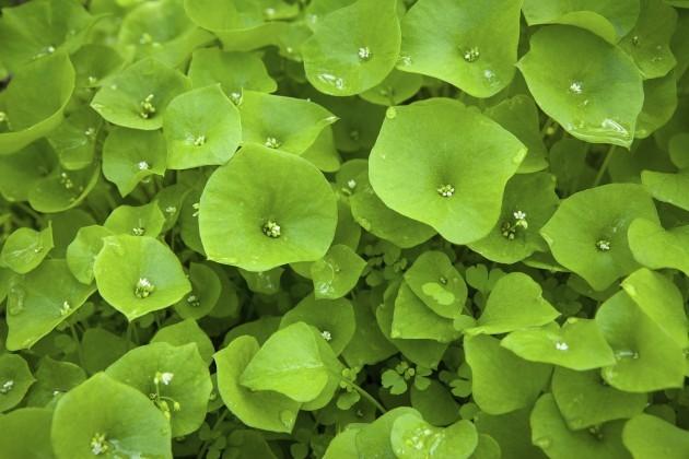 Wild Miner's Lettuce (Claytonia perfoliata) Growing In Santa Monica Mountains