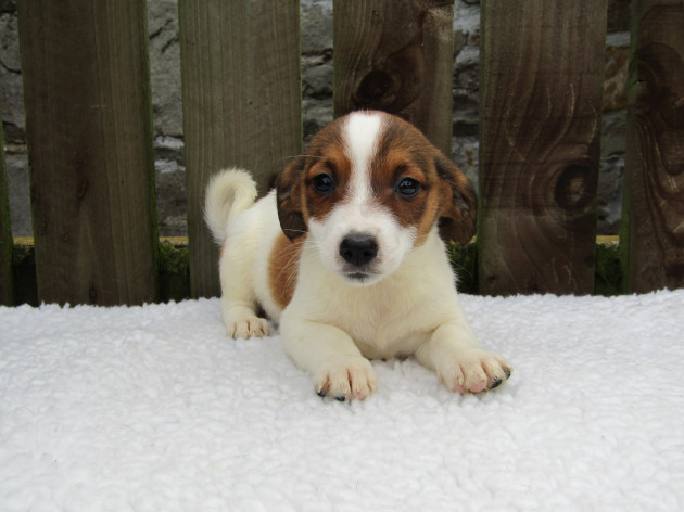 ISPCA appeals for homes for large number of Jack Russell Terrier