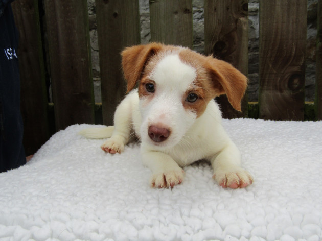 ISPCA appeals for homes for large number of Jack Russell dogs an